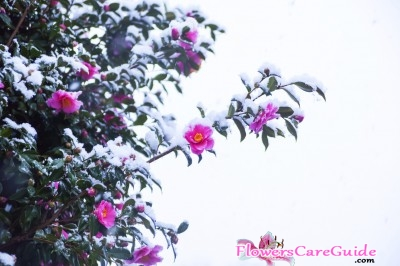 How to Get Camellia Rebound from Cold Damage