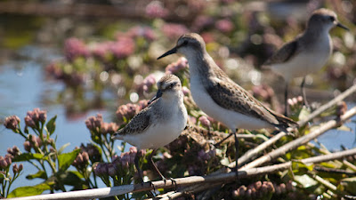 Hackensack Meadowlands Semipalmated Sandpipers.. Photos by TOM HART. All rights reserved.