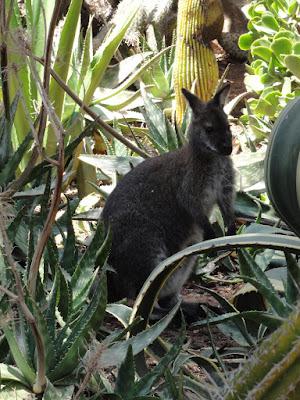 En liten kenguru mellom noen kaktuser.