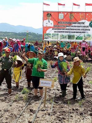 Bupati dan Dandim Kerinci Tanam Padi Serentak di Lokasi Cetak Sawah Desa Semerap
