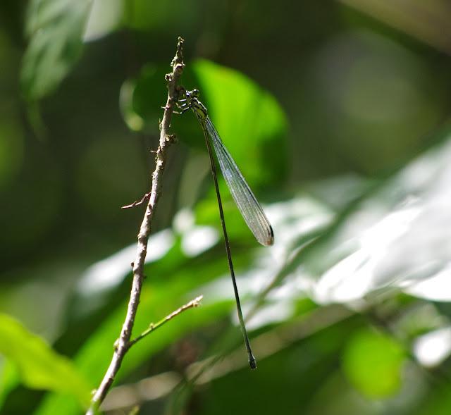 Pseudostigmatidae : Mecistogaster lucretia (DRURY, 1773). Sentier des Gros Arbres, Saül, 12 novembre 2012. Photo : J.-M. Gayman