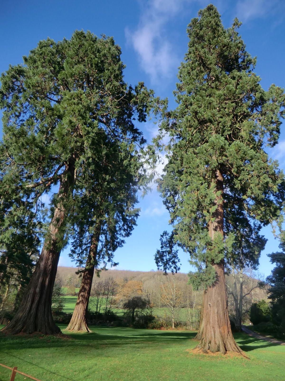 CIMG1695 Redwoods at Groombridge Place