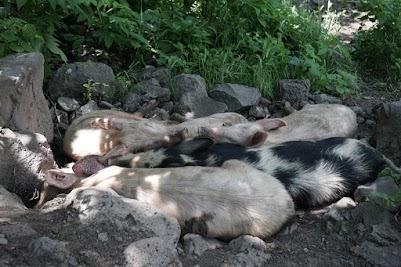 Schweine schlafen im Schatten eines Baumes