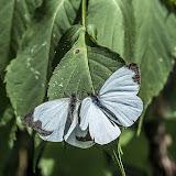 Leptophobia aripa aripa (Boisduval, 1836). La Minga, Choachi, 2330 m (Cundinamarca, Colombie), 11 novembre 2015. Photo : B. Lalanne-Cassou