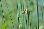 LABYRINTHE  Rousserolle effarvatte à l'affût des insectes aquatiques pour nourrir les bambins qui attendent en criant