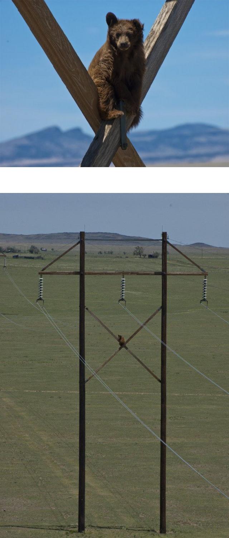 【画像】(>(エ)<)「クマった・・・。降りられない」 熊はなぜ高いところから降りられなくなるのか