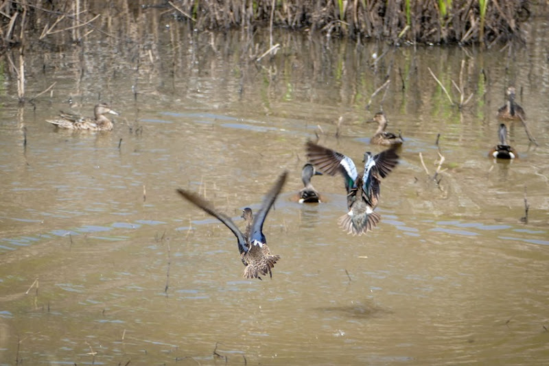 Blue-winged Teals in Flight P1030745