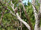 April 24: Barred Owl