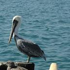 Meeuw met pelikaan