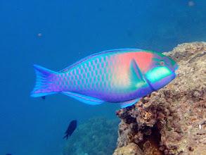 Photo: Chlorurus bleekeri (Bleekers Parrotfish), Miniloc Island Resort reef, Palawan, Philippines.