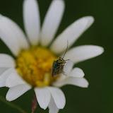 Cerambycidae : Cerambycinae : Aromia moschata (L., 1758). Les Hautes-Lisières (Rouvres, 28), 16 juin 2012. Photo : J.-M. Gayman