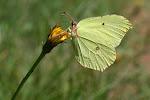 Citronsommerfugl.4.jpg