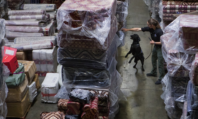 Benny, a 2-year-old Labrador retriever, searches through cargo for items hidden by state Department of Fish and Wildlife Detective Lauren Wendt. Washington's first wildlife-detection dog, Benny is certified in detecting elephant ivory, bear gallbladder, shark fin, firearms, and spent casings. Photo: Ellen M. Banner / The Seattle Times