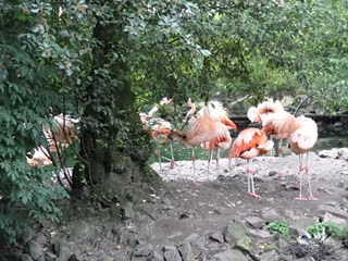 2016.07.31-060 flamants roses