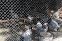 kafesteki tavuklar, Uluabat Kuş cenneti