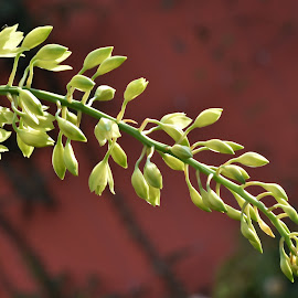 by Koh Chip Whye - Flowers Flower Buds (  )