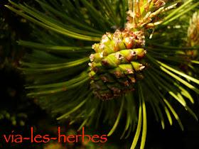 pinus nigra femelle.jpg