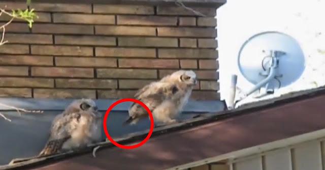Coruja sem vergonha deixa presente antes de voar