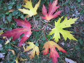 Alternating red and yellow maple leaves arranged in a circle.
