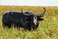 Mud covered bull on the flood plains