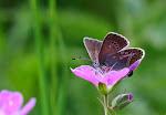 Chokoladebrun blåfugl, eumedon3.jpg
