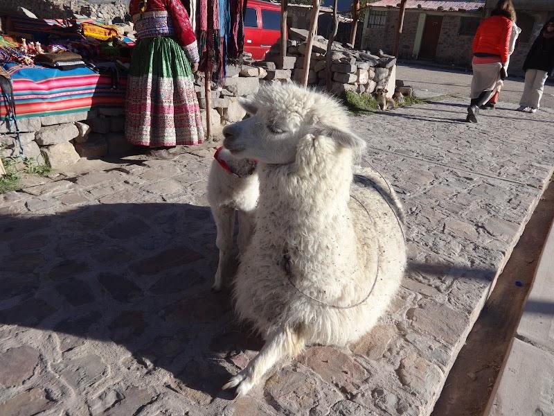 Alpaki w Peru.JPG