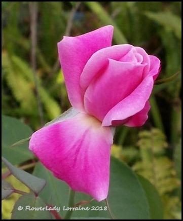 02-21-pink-unkn-rosebud