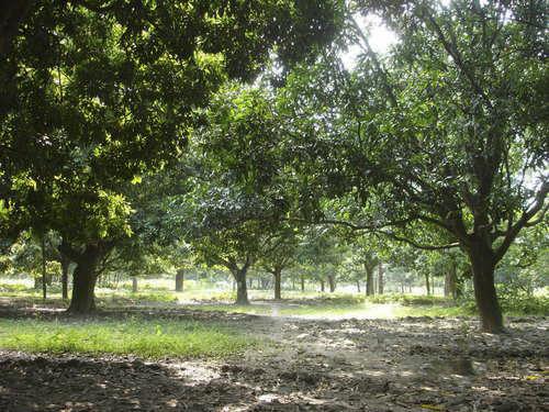 A Mango garden