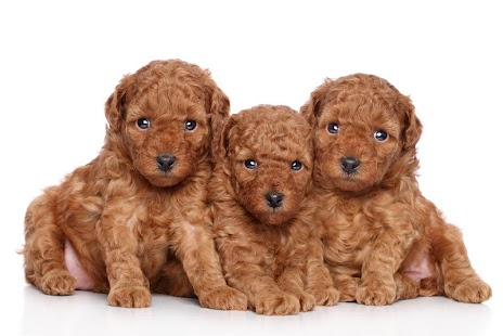 Dogs Wallpaper poodle dogs wallpaper - android apps on google play