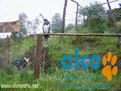 aguilaenporcorn