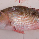 Chomped Mutton Snapper.jpg