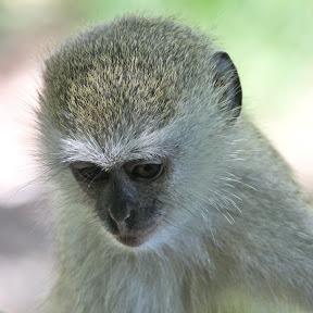 Vervet Juvenile, Zambia