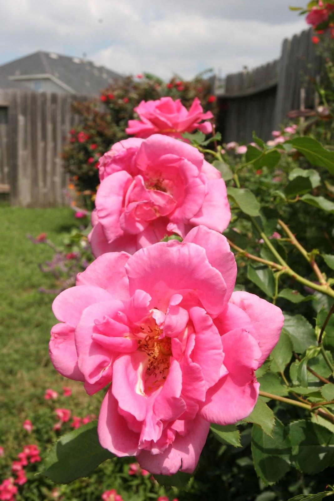 Gardening 2012 - IMG_3760.JPG