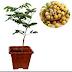 Jual Bibit pohon Kelengkeng Pingpong Untuk Tabulampot Harga Murah