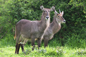 Male and Female Waterbuck, Zambia
