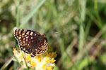 Melitaea phoebe4.jpg