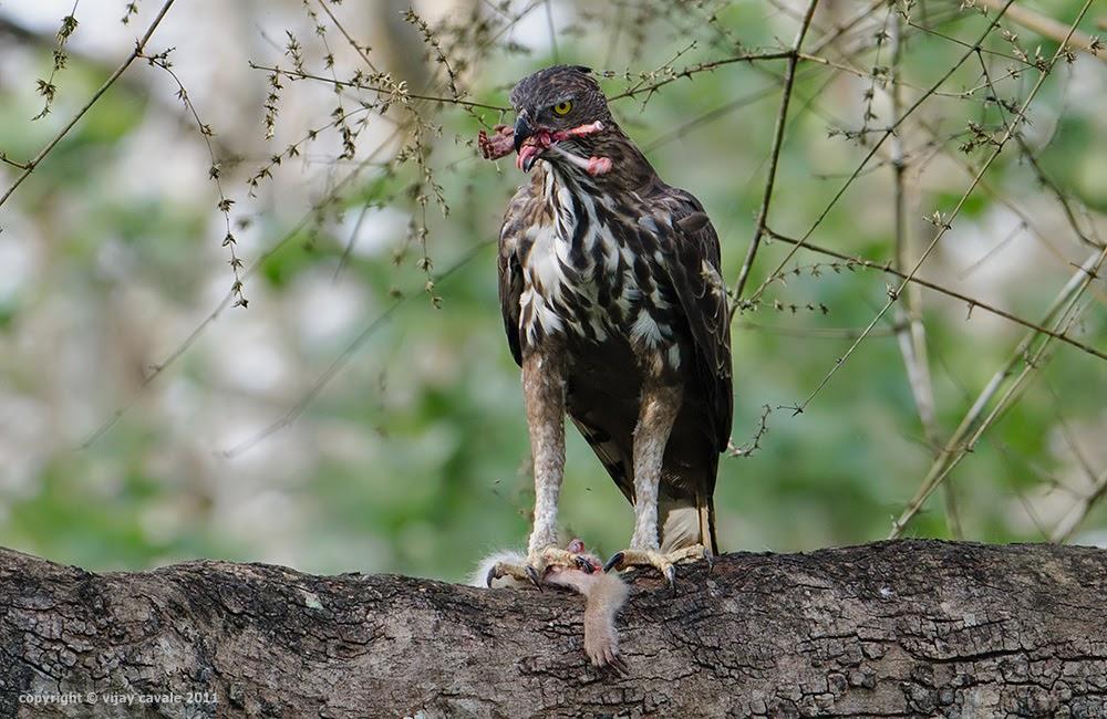 Crested Hawk Eagle * Nisaetus cirrhatus * 65 cms
