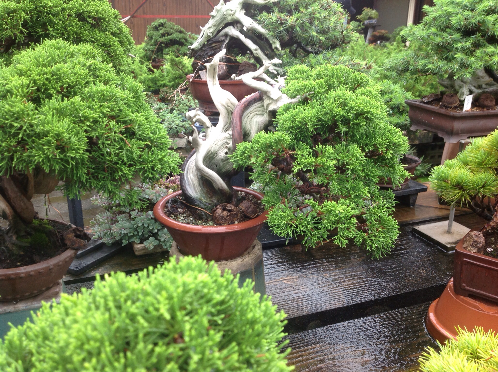 Saruyama blog shohin mecca and soggy sightseeing for Most expensive bonsai tree ever