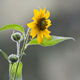 sunflower_MG_6765-copy.jpg