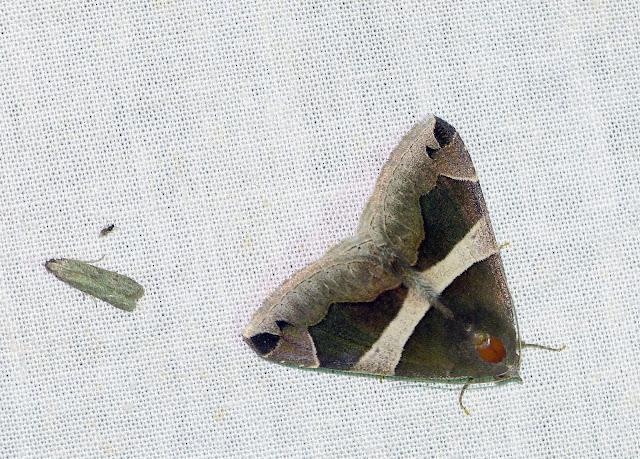 Erebidae : Erebinae : Dysgonia derogans (WALKER, 1858). Shai Hills (Ghana), 25 décembre 2013. Photo : J.-F. Christensen