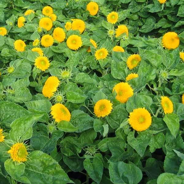 Vườn hoa hướng dương kép lùn