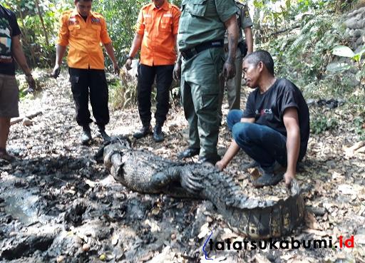 Petugas Evakuasi Buaya Muara Seberat 1 Kwintal di Palabuhanratu