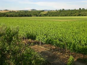 Photo: Il nostro Vigneto iscritto all'albo dei produttori del morellino di scansano girasole terzuolo terme saturnia. . .