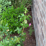 Gardening 2010 - 101_1763.JPG