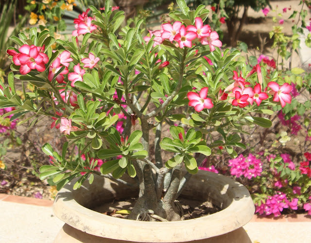 ma petite collection d'Adenium IMG_7325