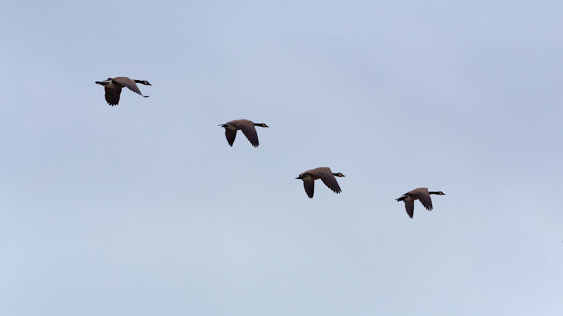 Flight of the Canada Goose