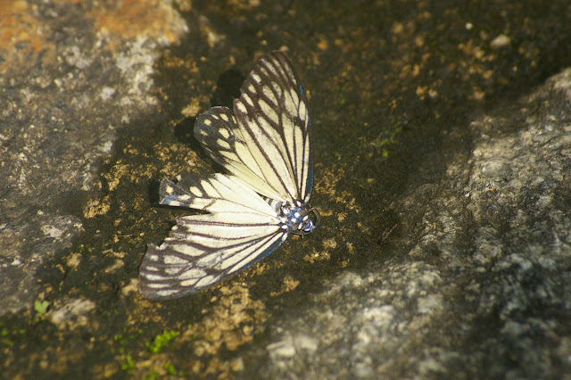Zygaenidae : Cyclosia papilionaris DRURY, 1773, femelle, mimant le genre Parantica. Jinghong (Xichuangbanna, Yunnan), 29 août 2010. Photo : J.-M. Gayman