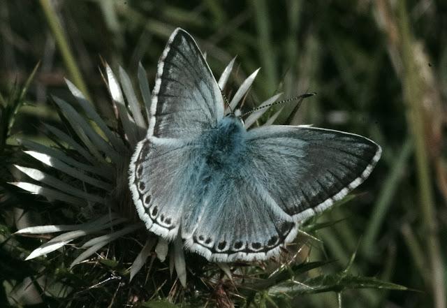 Polyommatus (Lysandra) coridon coridon (PODA, 1761), mâle. Tras le Mont, 820 m, Cocurès (Lozère), 10 août 2013. Photo : J.-M. Gayman