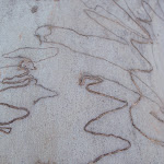 Scribbly gum (216815)