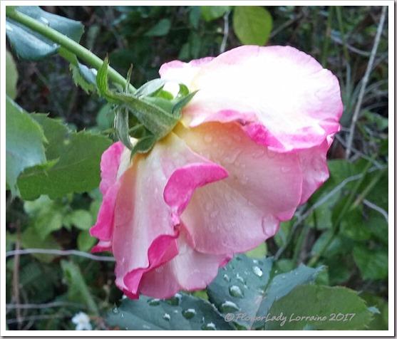 01-23-granada-rose